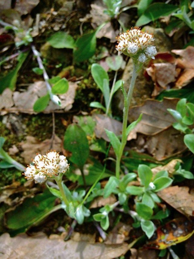 Кошачья лапка подорожниколистная, или Антеннария подорожниколистная (Antennaria plantaginifolia)