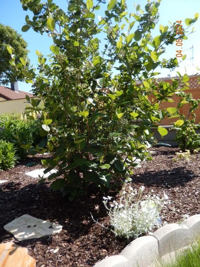 Арония черноплодная, или Черноплодная рябина (Aronia melanocarpa)