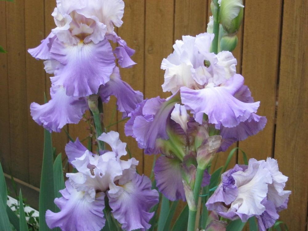 Bearded-Iris-Mother-Earth-2