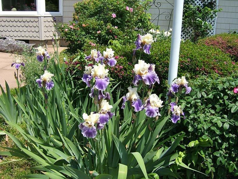 Bearded-Iris-Mother-Earth-3