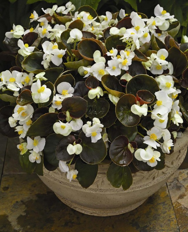 Бегония клобучковая, или бегония вечноцветущая (Begonia cucullata)