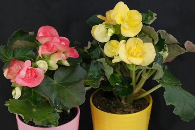 Бегония элатиор (Begonia elatior)