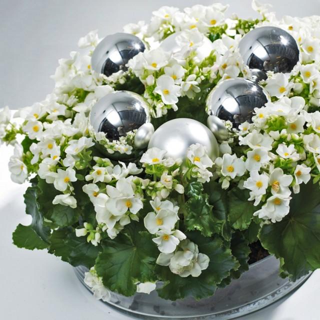 Бегонии Лоррейн (Begonia Lorraine)
