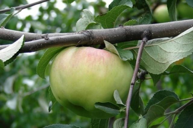 Яблоко сорта «Богатырь»