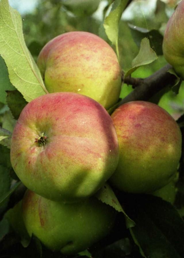 Яблоки сорта «Болотовское»