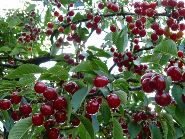 Вишня на ветвях вишнёвого дерева