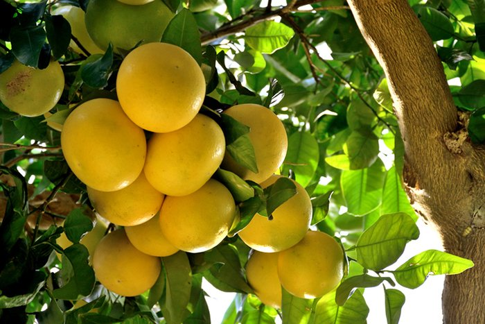 Citrus-paradisi