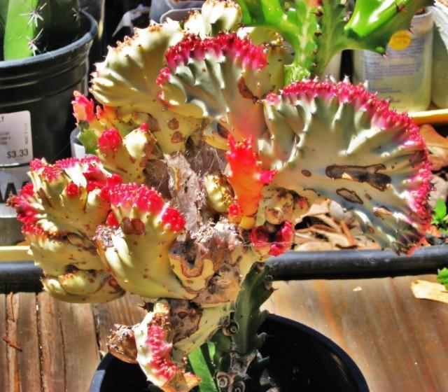 Молочай молочный формы кристата (Euphorbia lactea f. cristata f.variegata)