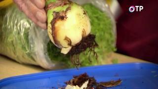 Загнивающую луковицу гиппеаструма очищаем до хороших чешуек