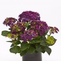 Гортензия крупнолистная «Дип Пёрпл» (Hydrangea macrophylla 'Deep Purple')
