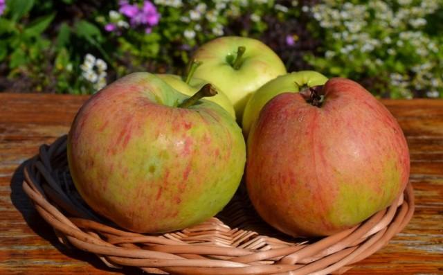Яблоки сорта «Яблочный спас»