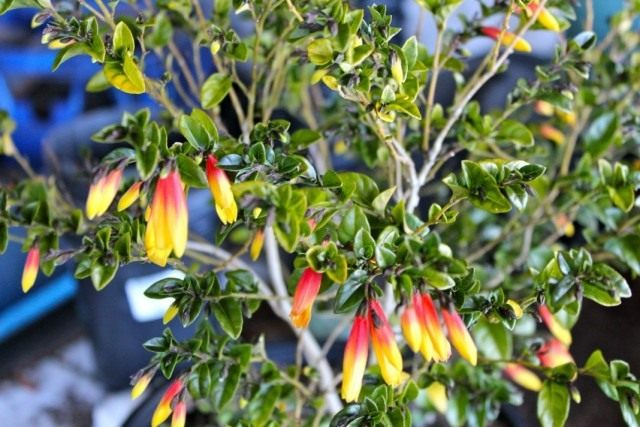 Юстиция пышноцветущая (Justicia floribunda)