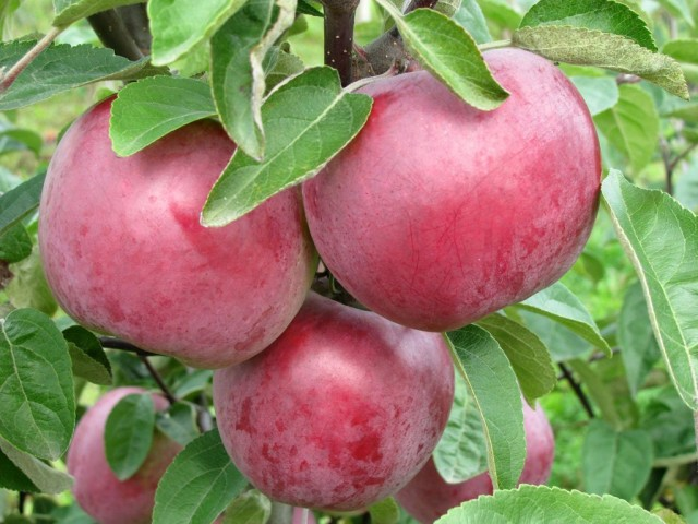 Яблоки сорта «Коваленковское»