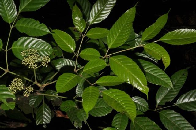 Леея индийская (Leea indica)