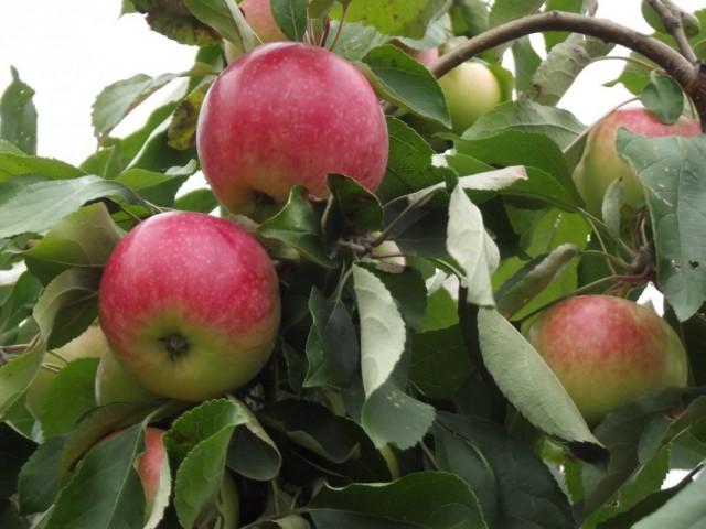 Яблоки сорта «Мелба»