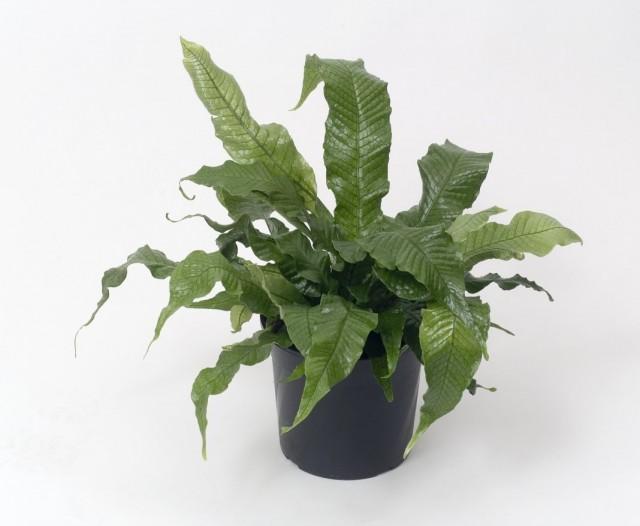 Микросорум бананолистный (Microsorum musifolium)