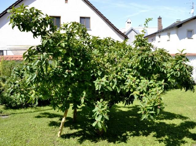 Дерево мушмулы германской