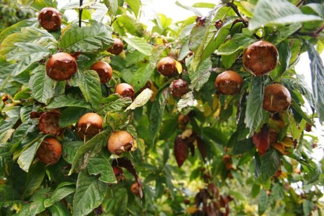 Плоды мушмулы германской на дереве