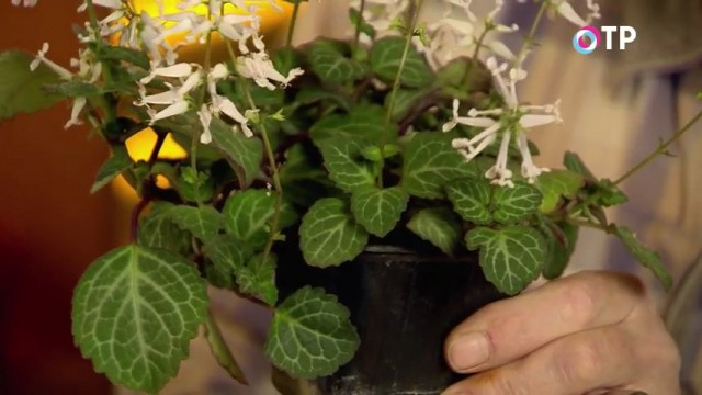 Растение плектрантус в посадочном контейнере