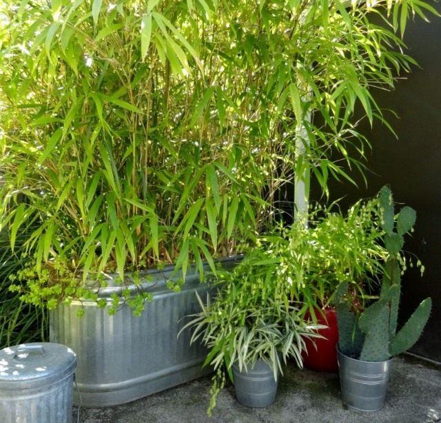 Выращивание Плейобластуса в контейнерах