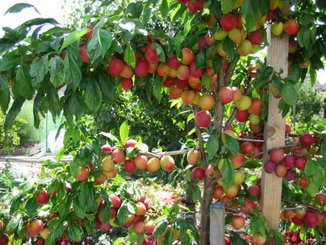 Сливовое дерево с плодами