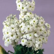 Примула мягковатая «Феир Леди» белая ( Primula malacoides 'Fair Lady' White)