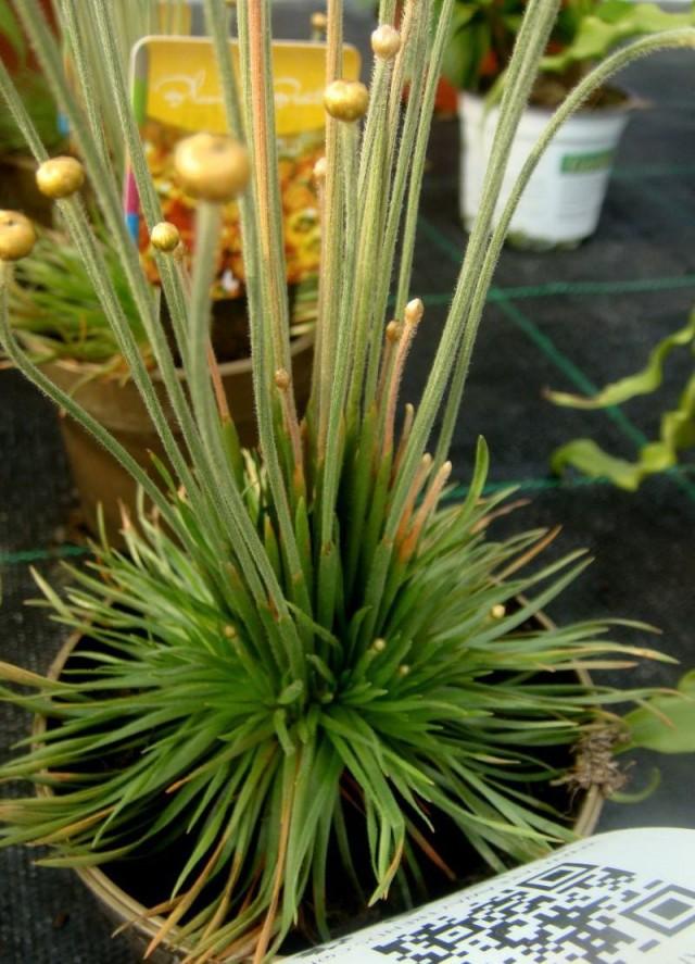 Сингонантус золотистоцветковый «Микадо голд» (Syngonanthus chrysanthus 'Mikado gold')