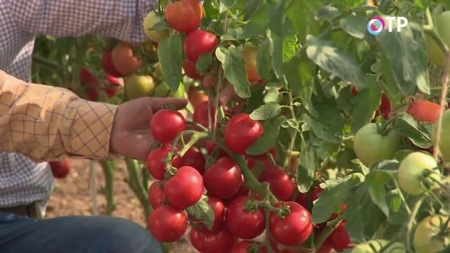 Гроздь томатов гибридного сорта «Любаша»