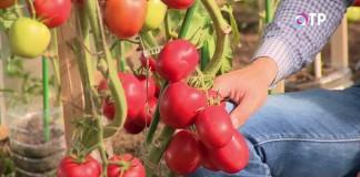 Гроздь томатов индетерминантного гибрида «Великосветский»