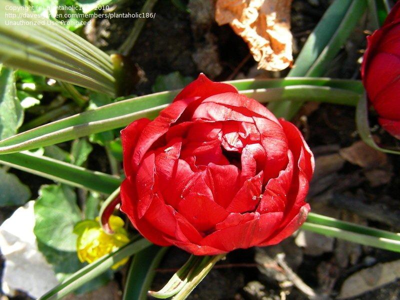 Tulipa-humilis-Tete-a-Tete-1