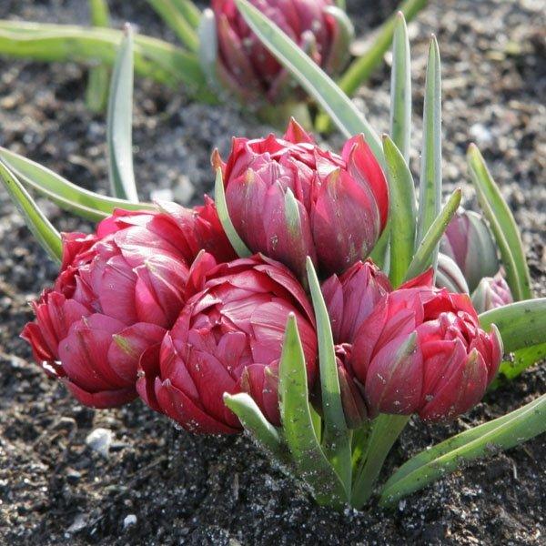 Tulipa-humilis-Tete-a-Tete-2