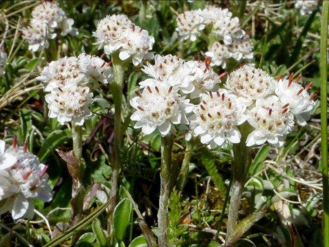 Кошачья лапка двудомная, или Антеннария двудомная (Antennaria dioica)