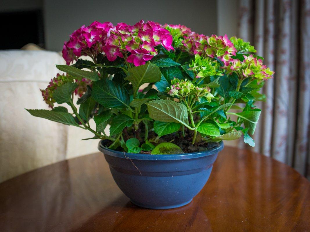 Комнатный цветок с луком