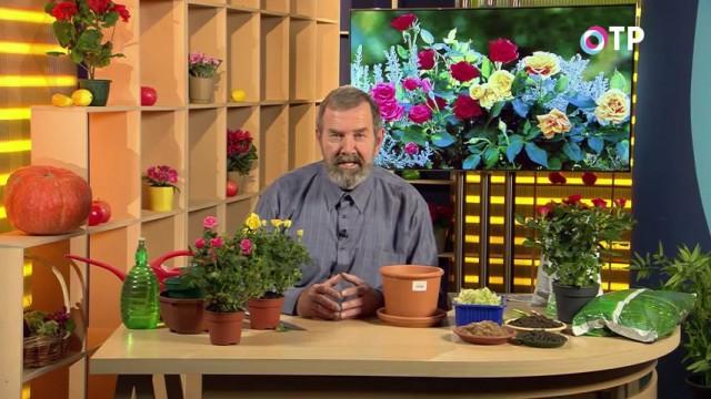 Николай Фурсов. Кандидат сельскохозяйственных наук о пересадке и адаптация комнатных роз