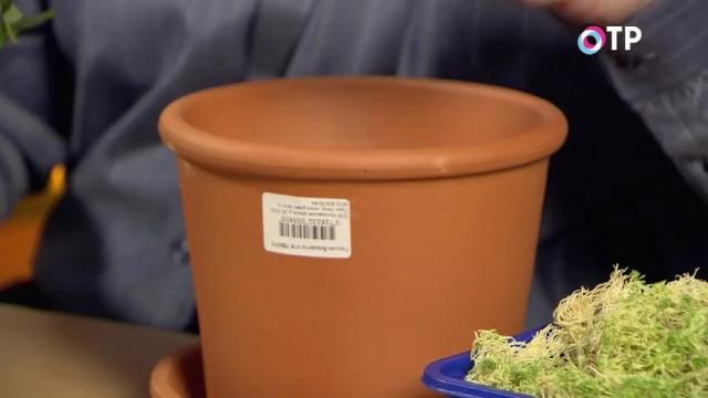 Для пересадки горшечных роз желательно выбирать глиняный горшок большого размера