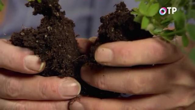 При разделении горшечных роз, старайтесь не повреждать основные корни