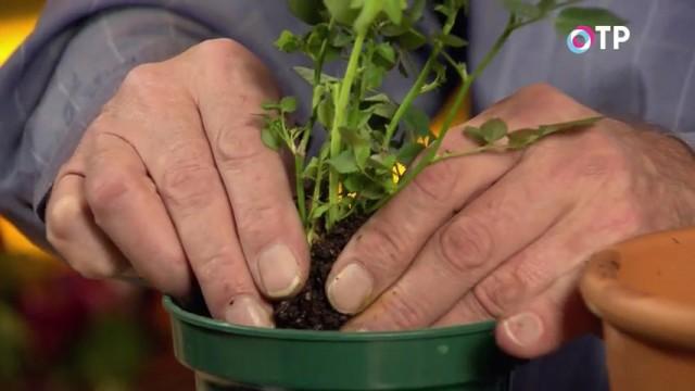 Разделённые горшечные розы можно высаживать в горшок меньшего диаметра, предварительно заполнив его дренажем и грунтом