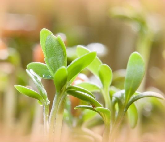 Пророщенные семена для рассады