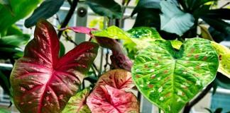 Каладиум двухцветный (Caladium bicolor)