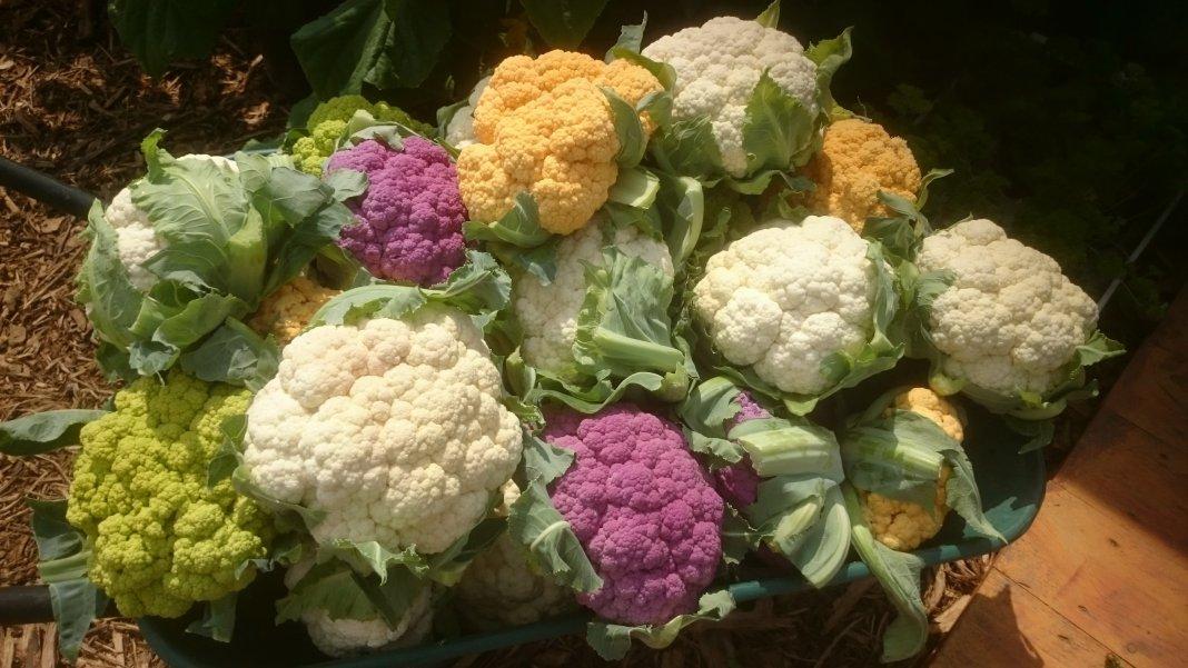 Ошибки при выращивании цветной капусты 18