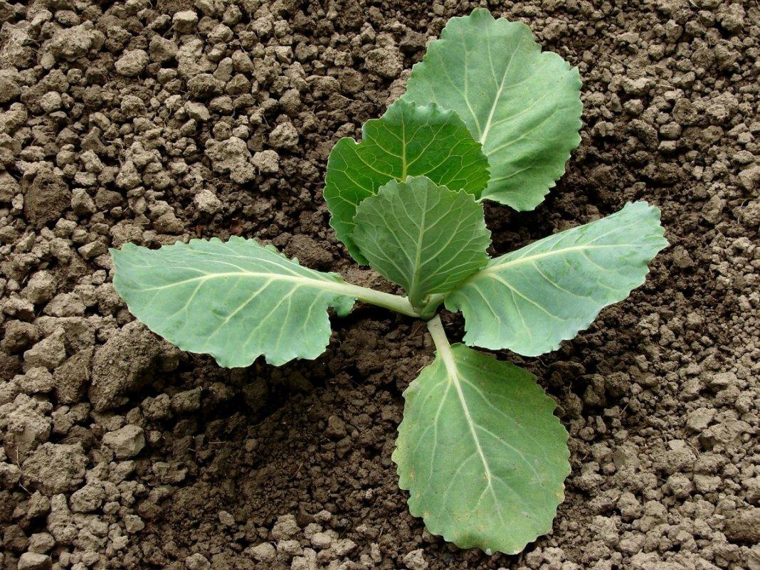 Как сажать капусту Правильно сажаем капусту на своей грядке Сад 41