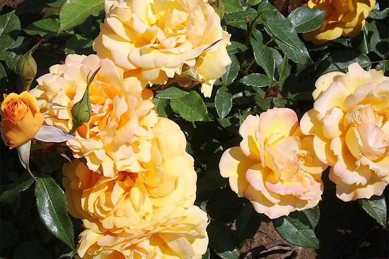 Climbing-Rose-Lady-Hillingdon-1