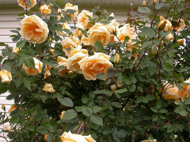 Climbing-Rose-Lady-Hillingdon-2