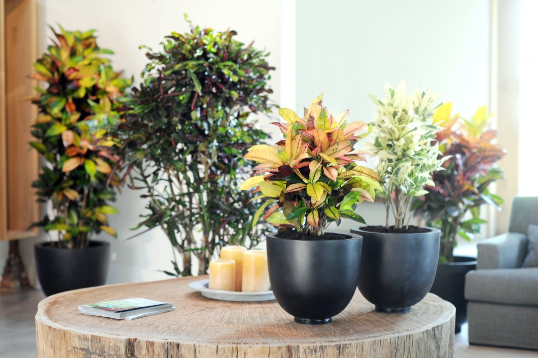 Rams Horn Croton  Plants to Love  Pinterest  Horn and