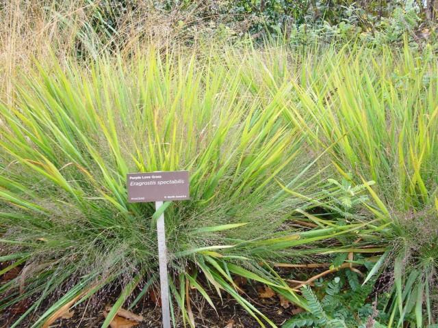 Полевичка видная (Eragrostis spectabilis)