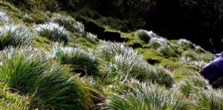 Полевичка (Eragrostis)
