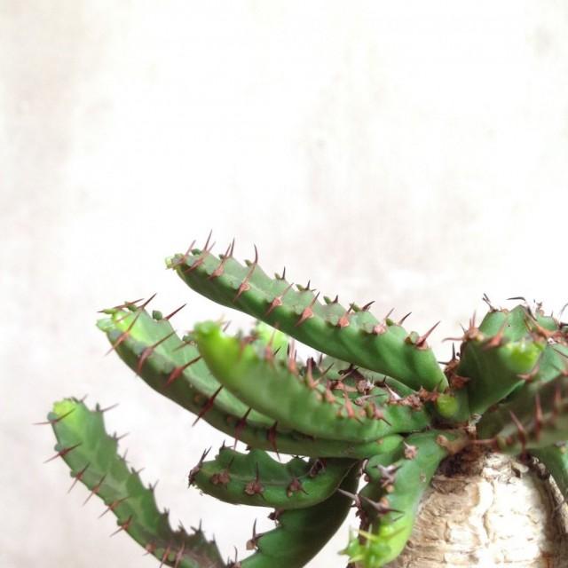 Молочай звездчатый (Euphorbia stellata)