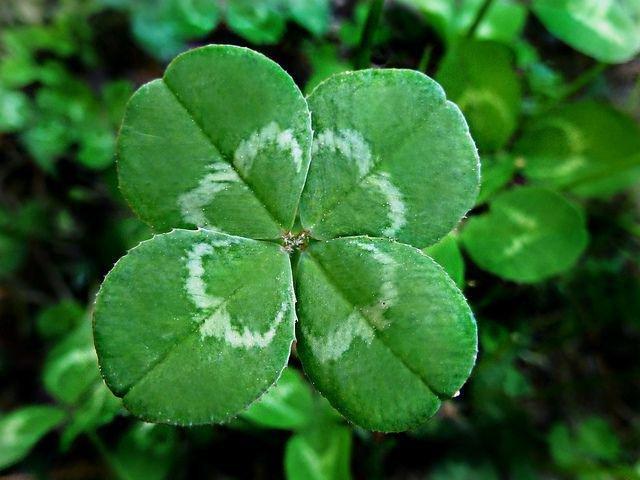 Four-leaf-clover-1