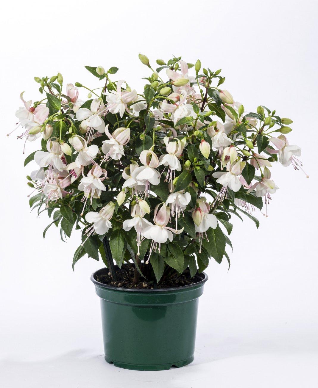 http://www.botanichka.ru/wp-content/uploads/2017/02/Fuchsia-2.jpg