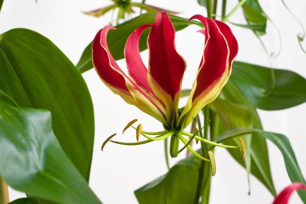 http://www.botanichka.ru/wp-content/uploads/2017/02/Gloriosa-2.jpg